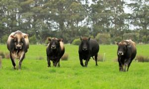 dairy bulls